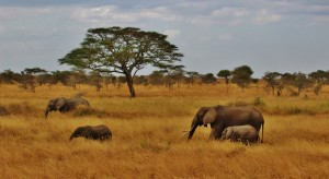 elephants-277329_1920